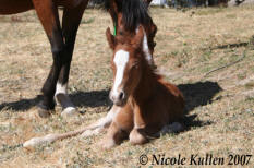 Nikshar Stud's 2007 Part Welsh, Arabian Pony Colt Foal  'Nikshar Cheeky Boy Blue' (pending)