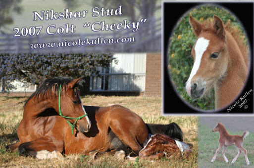 ** FOR SALE **  Nikshar Stud's 2007 Part Welsh, Arabian Pony Colt Foal  'Nikshar Cheeky Boy Blue' (pending)
