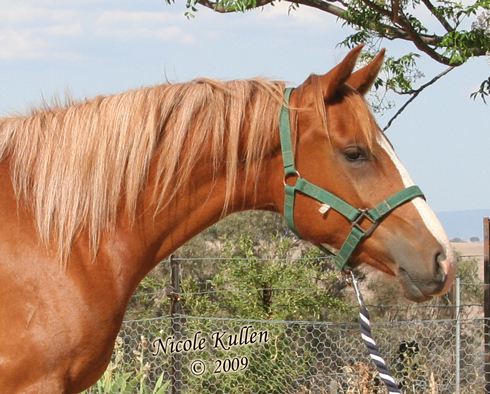 Purebred Arabian Filly NIKSHAR GOLDEN LEGACY. Photo taken: 25 Nov 2009